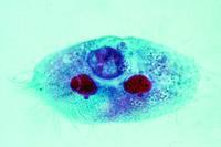 Stylonychia, a common ciliate w.m.