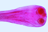 Taenia saginata, tapeworm, proglottids w.m. *