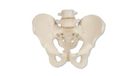 Male Pelvic Skeleton