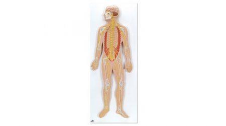 Nervous system; 1/2 life size