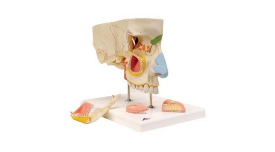 Nose Model With Paranasal Sinuses
