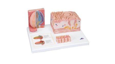 3B MICROanatomy™ Tongue