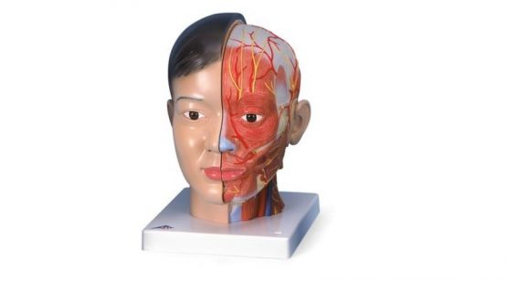 Asian Deluxe Head with Neck, 4 part