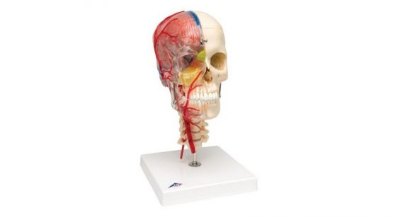 BONElike™ Human Skull Model, Half Transparent & Half Bony- Complete with Brain and Vertebrae