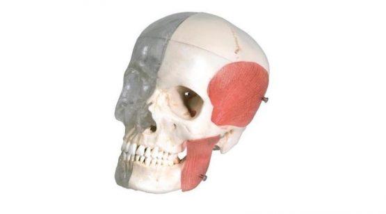 BONElike™ Human Skull Model, Half transparent and Half Bony, 8 part