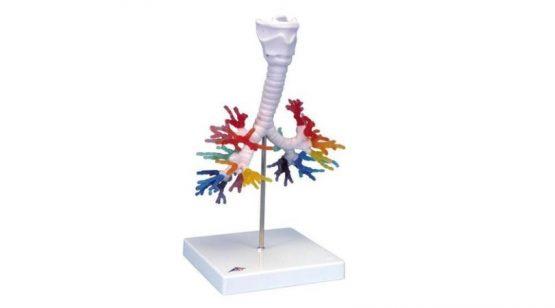 CT Bronchial Tree with Larynx