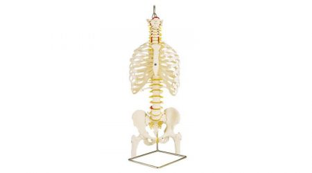 Classic Flexible Spine Model with Ribs and Femur Heads