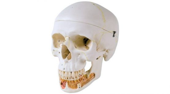 Classic Human Skull Model, with Opened Lower Jaw, 3 part