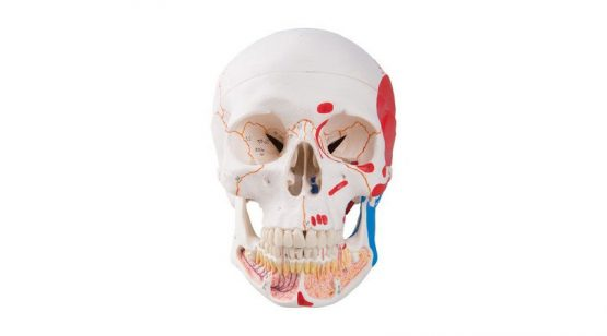 Classic Human Skull Model with Opened Lower Jaw, 3 part, painted