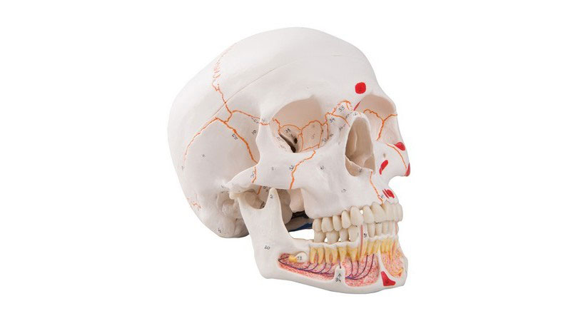 Classic Human Skull Model with Opened Lower Jaw, 3 part, painted ...