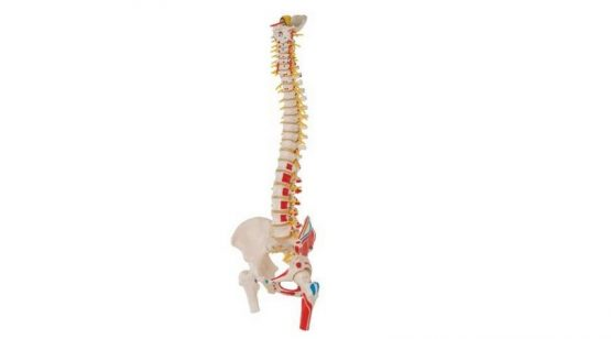 Deluxe Flexible Spine Model with Femur Heads and Painted Muscles