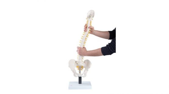 Flexible Spine Model with Soft Intervertebral Discs