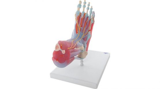 Foot Skeleton Model with Ligaments and Muscles