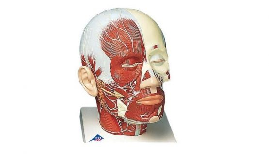 Head Musculature additionally with Nerves