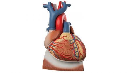 Heart on Diaphragm, 3 times life size, 10 part