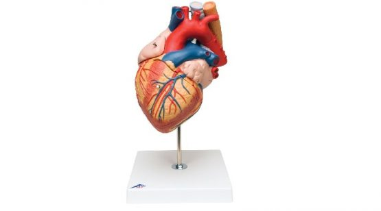 Heart with Esophagus and Trachea, 2 times life size, 5 part