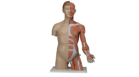 Life-size Dual Sex Torso with Muscle Arm, 33-part