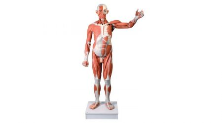 Life Size Male Muscular Figure, 37-part
