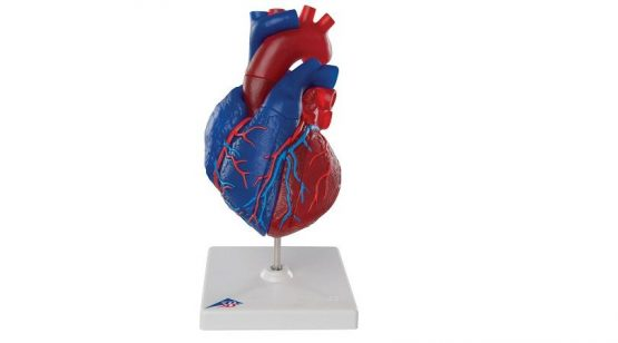 Magnetic Heart model, life-size, 5 parts