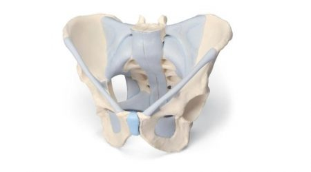 Male pelvis with ligaments, 2-parts