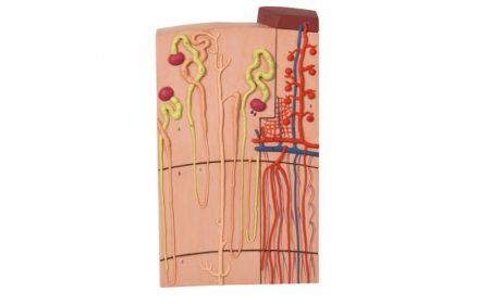 Nephrons and Blood Vessels, 120 times full-size